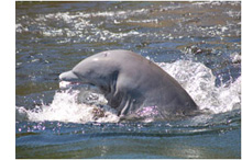 Crystal-River-Dolphins