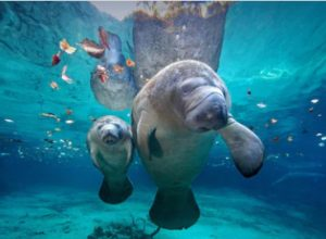 time to swim with manatees in FL