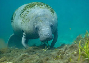 best time for diving with manatees in Crystal River